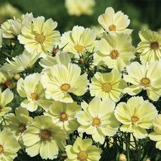 Xanthos Cosmos - Flowers And Bulbs   Veseys