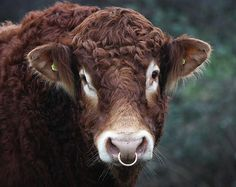 Limousin Bull (Bos taurus) alfalfa ears and a nose ring.