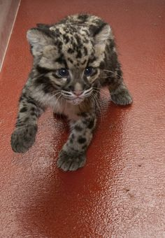 clouded leopard cub, smithsonian conservation biology institute, front royal, virginia.