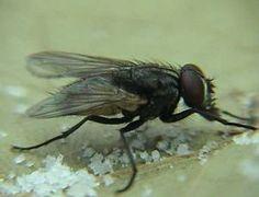 Como acabar com as moscas domésticas - Dicas Aki!