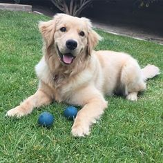 Brandi The Golden Retriever ♥