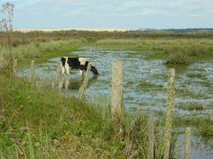 Uruguay Cow