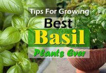 9 Basil Growing Tips To Grow The Best Basil Plants