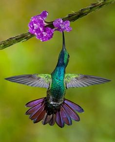 Beauty of nature Violet-crowned woodnymph Visit our Page -►Wildlife and Nature Pictures ◄- For more photos Pretty Birds, Love Birds, Beautiful Birds, Animals Beautiful, Cute Animals, Beautiful Things, Exotic Birds, Colorful Birds, Tier Fotos