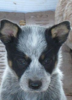 Australian Cattle Dog puppy, the blue version.