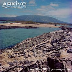 galapagos islands habitat | Galapagos marine iguana (Amblyrhynchus cristatus)