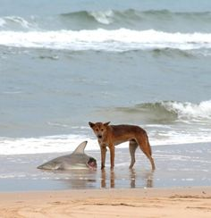 Post with 996 votes and 26245 views. A wild dingo eating a shark. Welcome to Australia Deadly Animals, Dangerous Animals, Funny Animal Pictures, Funny Animals, Animal Pics, Meanwhile In Australia, Big Shark, Shark Pics, Shark Head