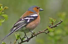 Chaffinch - I love their cheery little springtime song!