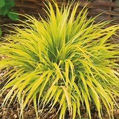Ornamental grass ideas on pinterest ornamental grasses for Decorative grasses full sun