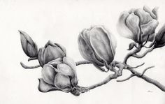 Magnolia Drawing by Ina Digby - Magnolia Fine Art Prints and Posters for Sale