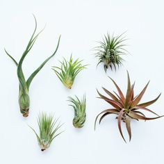 6 Pack - Air Plant - Air Plant Grab Bag - Set of 6 Plants - Fast FREE Shipping - 30 Day Guarantee - Air Plants for Sale