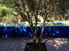 "Blue majorelle 105"" lap pool under the olive trees at DarZahia's garden."