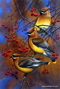 As shown in Cynthie Fisher's print CEDAR WAXWINGS, the primary diet of these colorful birds is fruits and berries. They even share one single berry during courtship. Waxwings have soft silky plumage w