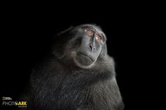 A selection of photographer Joel Sartore's images of monkeys, taken from his ambitious, decade-long Photo Ark project.