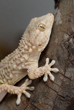 Tarentola mauretanica/Moorish Gecko/Tarente de Maurétanie Les Reptiles, Reptiles And Amphibians, Snake Breeds, Reptile Cage, Reptile Enclosure, Crested Gecko, Guinea Pig Toys, My Animal, Animal Pics