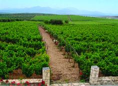 #Cretan #Vineyard ##Greece #Wine Photo on www.cretan-nutrition.gr