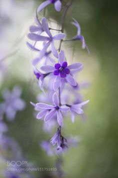 Petrea volubilis by MandyDisher #nature #photooftheday #amazing #picoftheday