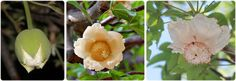 How are baobab flowers pollinated? It's still a subject for considerable research and Nisa Karimi has been studying baobab flower pollination in the Limpopo area. African Plants, Baobab Tree, Mysterious, Conservation, Mystery, Trees, Gardens, Flowers, Life