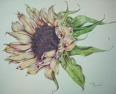 Colored Pencil Sunflower