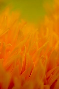 Sunflower Flames Of Orange And Yellow Print By Mo Barton