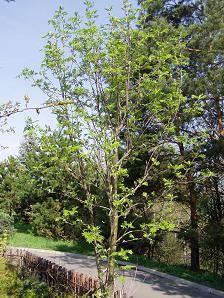 Jeřáby (Sorbus) a Hruškojeřáb