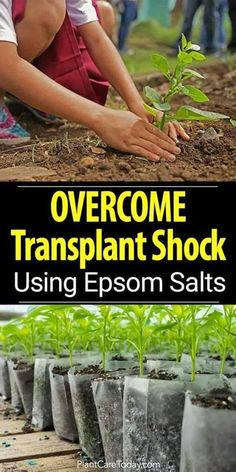 What do you use Epsom Salts for in gardening?