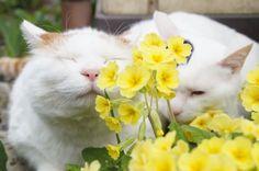 黄色プリムラ - かご猫 Blog