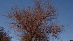 https://flic.kr/p/ChpkZ5 | #Chile #Atacama la extraña dorada belleza del algarrobo | The beautiful and rare golden beauty of the carob tree°° #チリ : イナゴマメの美しく珍しい金色の美しさ。