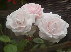 'New Dawn' climbing rose is an older variety, around since 1930. This moderately fragrant rose is said to have excellent disease resistance, and tolerates some shade. Zones 5 - 9.