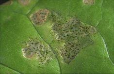 liść po żerowaniu wciornastka Plants