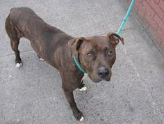 TO BE DESTROYED 8/17/13 Brooklyn Center  FROSS - A0971472  MALE, BR BRINDLE / WHITE, PIT BULL MIX, 11 mos OWNER SUR - EVALUATE, NO HOLD Reason LLORDPRIVA https://www.facebook.com/photo.php?fbid=644079205604962=pb.152876678058553.-2207520000.1374503594.=3