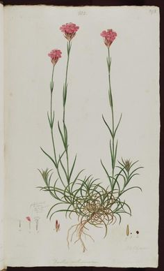 #flower #botanical #dianthus Dianthus carthusianorum http://www.bodley.ox.ac.uk/users/millsr/isbes/FG/FGD1/images/plasci002_aaa_0124_3.jpg