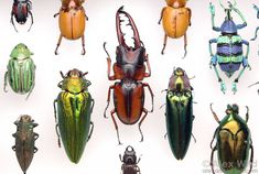 A selection of beetle specimens, preserved for scientific study.
