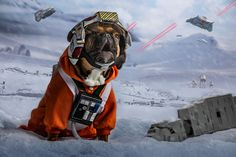 This is Obiwan Kenobi, a french bulldog living in Orlando, Florida. He loves donuts, sunshine, and most of all, Star Wars. To celebrate May the Fourth, he recreated some of his favorite scenes from the movies. And boy, are they cute. This one inspired by Luke and the battle on Hoth.