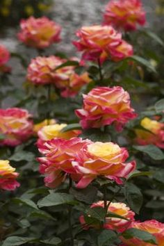 As melhores épocas para podar as roseiras | #jardim
