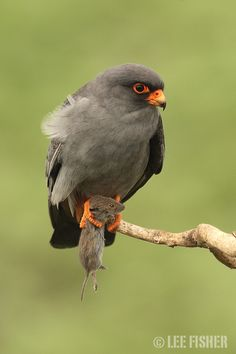 RED FOOTED FALCON by Lee Fisher on 500px