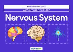 Nervous System Anatomy and Physiology - Nurseslabs Peripheral Nervous System, Endocrine System, Respiratory System, Nervous System Anatomy, Extracellular Fluid, Cerebrospinal Fluid, Vagus Nerve, Muscular System, Cranial Nerves