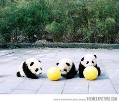 Baby Pandas Playing Soccer....