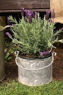lavender in galvanized bucket