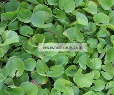 Centella also called as Vallarai, is a magical herb. It has numerous health benefits. Learn the nutrition facts and recipes