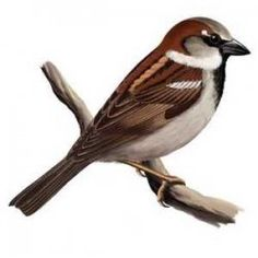 Sparrow symbol of hope, fertility, Renewal of Life and Resurrection