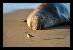 Male elephant seal and bird at the San Simeon rookery