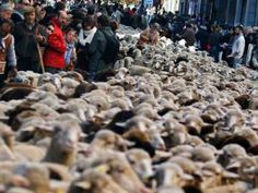 Pedestrians gather to watch as shepherds lead their sheep through the centre of #Madrid in Spain on Sunday.