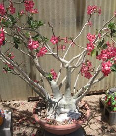 Adenium in flower. from fat-plants.com