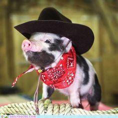 Cute miniature pig, I wish my baby was still little!<3