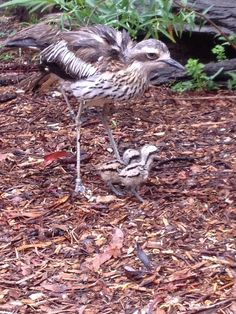 Healesville Sanctuary has recently celebrated the birth of two Bush Stone Curlew chicks!  At just one day old, the chicks are already running around and feeding on their own. Mum and Dad are taking it in turns to look after them and, when they're asleep, keep the chicks tucked up safe under their wings. Why don't you come and visit them this weekend? There's always something new at Healesville Sanctuary!