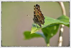 Butterflies are very welcome in our Garden.