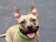 ~~CUTE 4 YR OLD GAL TO BE DESTROYED - 8/3/14~ Manhattan Center -P  My name is VICKY. My Animal ID # is A1008484. I am a female tan and white pit bull mix. The shelter thinks I am about 4 YEARS old.  I came in the shelter as a STRAY on 07/29/2014 from NY 10029, owner surrender reason stated was STRAY.