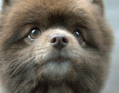 Rico the Pomeranian