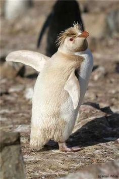 Leucistic Rockhopper Penguin on the Falkland Islands. Arctic Animals, Rare Animals, Animals And Pets, Penguin Facts, Penguin Love, All About Penguins, Cute Penguins, Beautiful Birds, Animals Beautiful